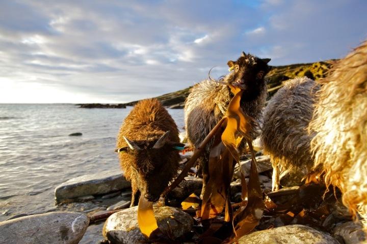 Sheep, North Ronaldsay - Colin Keldie